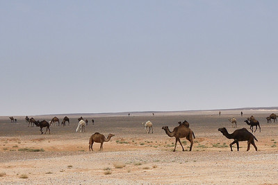 Camels congregate for a road crossing, Jordan.