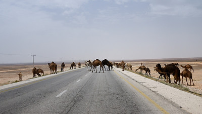 Camel road crossing in Jordan!