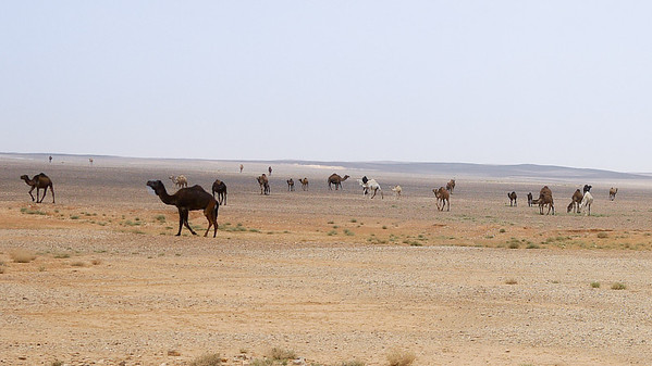 Camels spread out as far as the eye can see as we drive toward the country's Desert Castles, Jordan