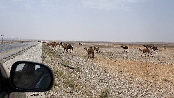 Roadside camels on the way to Jordan's desert castles