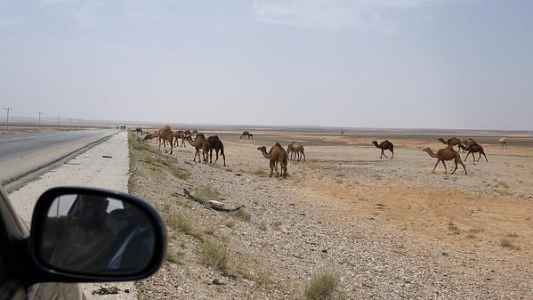 Roadside camels on the way to Jordan's desert castles