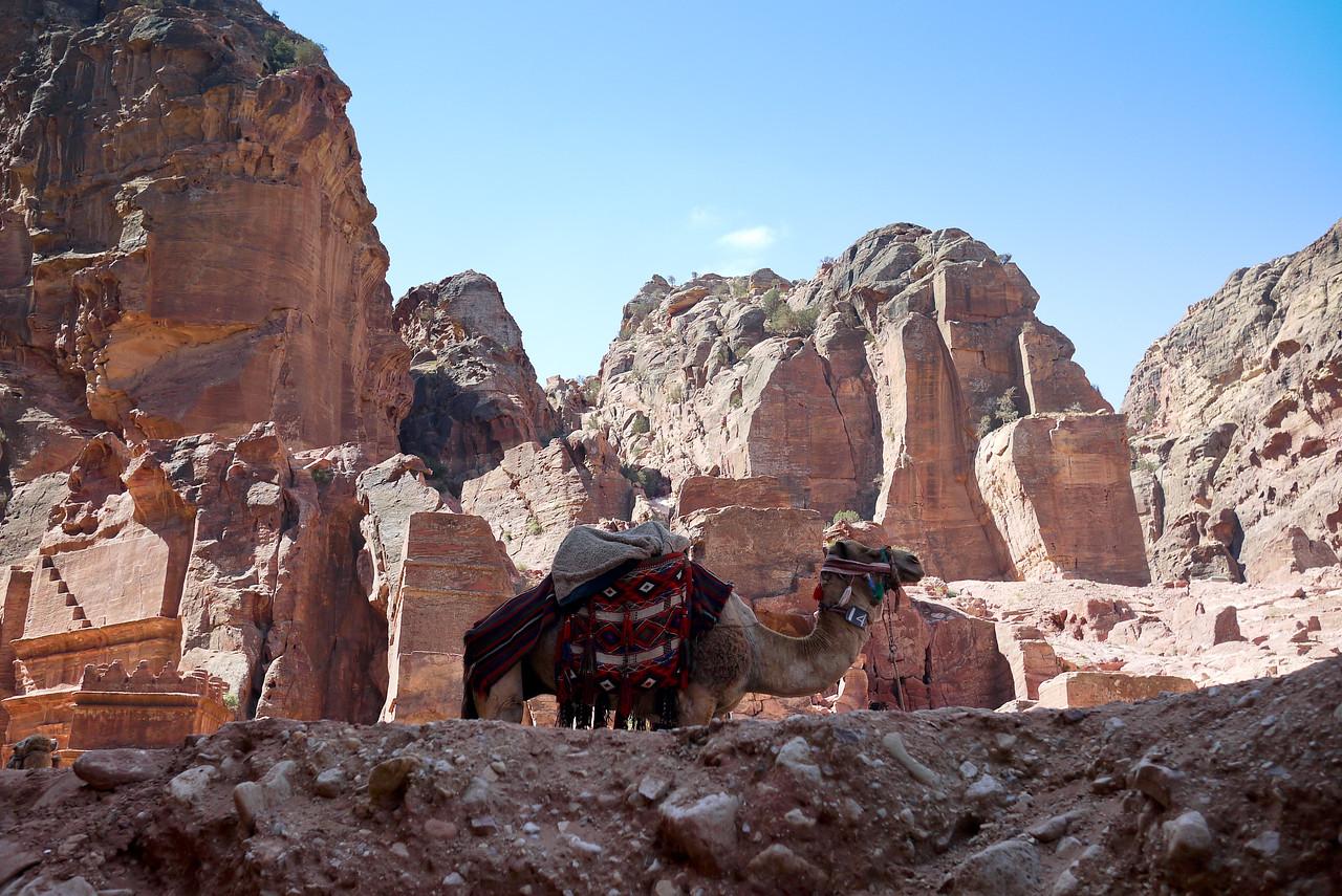 A camel against the rocks of Petra, Jordan.