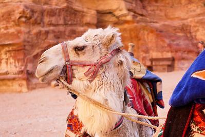 A camel waits for riders at The Treasury in Petra, Jordan.