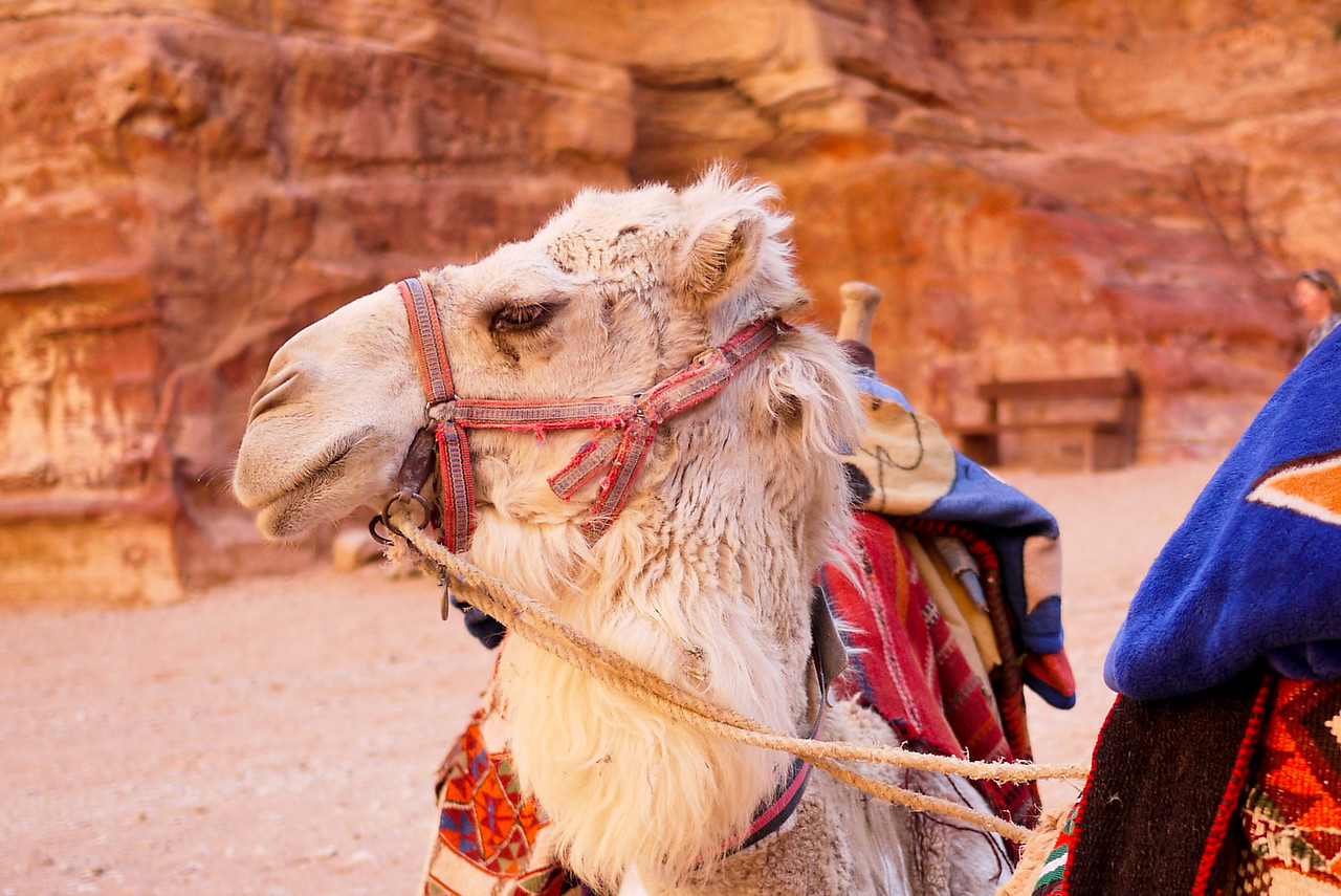 A camel waits for riders at The Treasury in Petra, Jordan.
