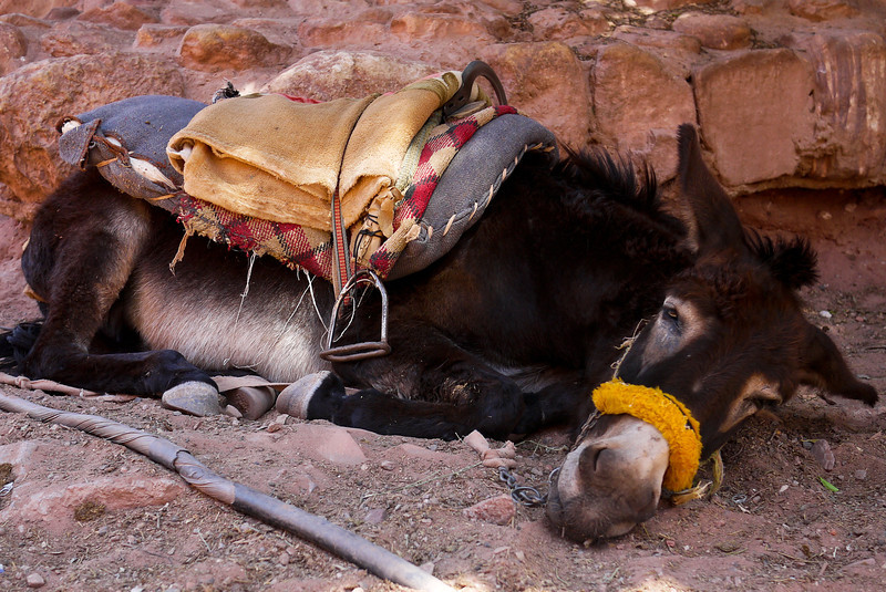 A very tired donkey rests out of the sun in Petra, Jordan.