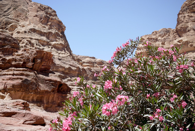 Pink flowers were in bloom and so pretty against the stark red rocks in Petra, Jordan.