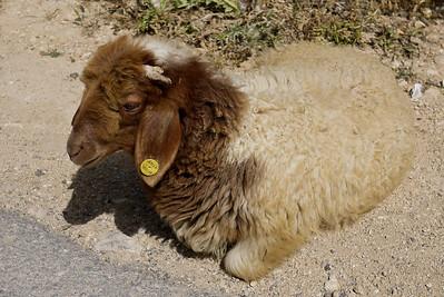 Random goat sighting! Jordan