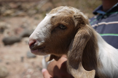 Goat cuteness overload at the Feynan Ecolodge in Wadi Feynan, Jordan