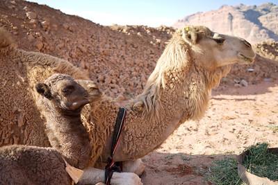 Mom and baby camel in Wadi Rum, Jordan.