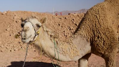 Camel! Wadi Rum, Jordan