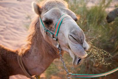 Camel eating grass in the deserts of Wadi Rum, Jordan