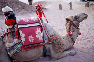 Camel prepped for a ride in Wadi Rum, Jordan