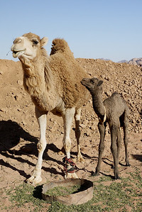 Baby camel and mom in Wadi Rum, Jordan