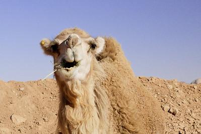 Chewing camel, Wadi Rum, Jordan