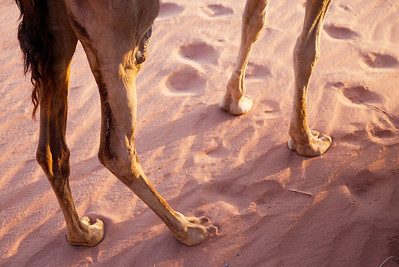 Camel feet and footprints in the sun in Wadi Rum Desert , Jordan