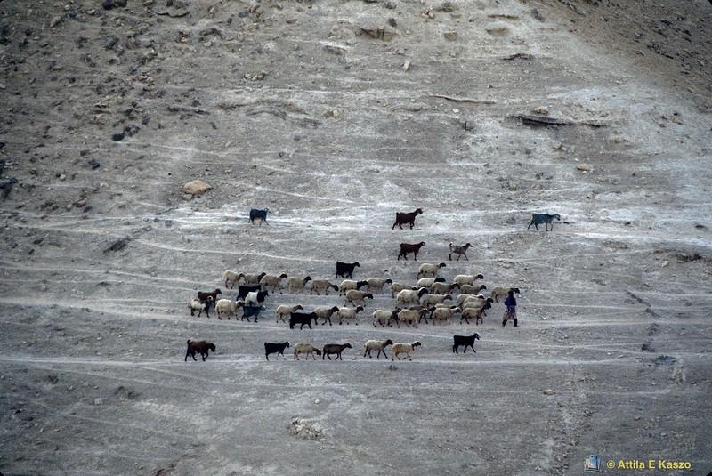 Bedouin Herders<br /> Jerico, Palestine