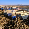 Sugar Beet harvest<br /> Central Anatolia, Turkey