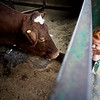 JIM VAIKNORAS/Staff photo  Ella Faulkner ,5, of Beverly says high to Star  one of the cows at  Richardson's