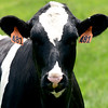 JIM VAIKNORAS/staff photo One of the cows in a field at Richardson Farms