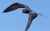 Frigatebird_Great TAB10MK4-9867