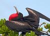 Frigatebird_Great TAB10MK4-9610
