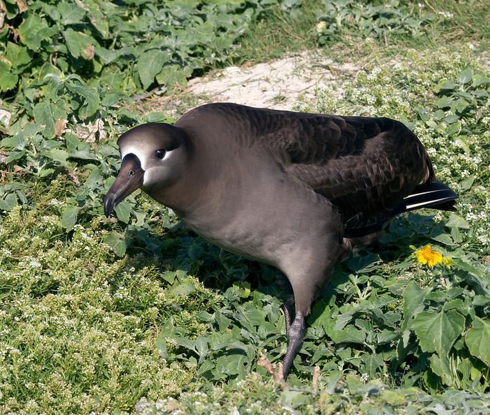 Albatross_BR vulture walk TAB10MK4-8334