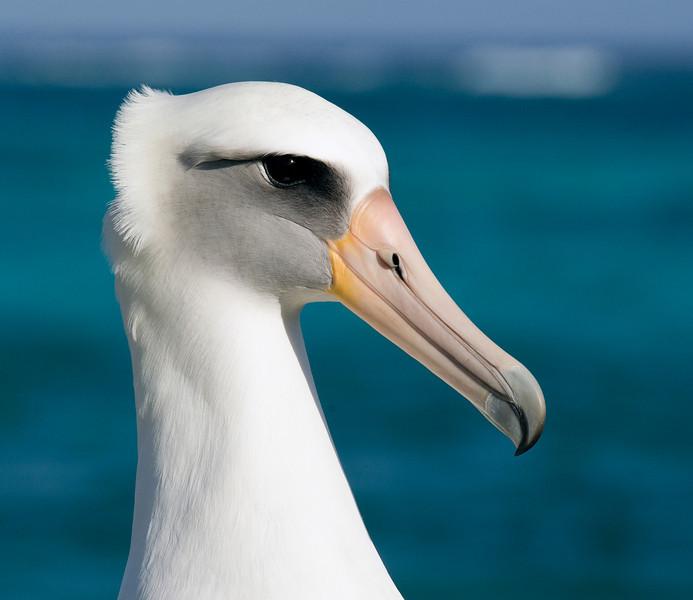 Albatross_Laysan HS TAB10MK4-8342