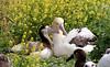 Albatross_Short-tailed TAB10MK4-9775