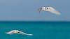 Tern_White pair flying TAB10MK4-7952