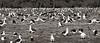 Albatross in Field TAB10MK4-8451