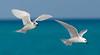 Tern_White pair flying TAB10MK4-7964
