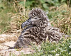 Albatross_Laysan chick TAB10MK4-8121