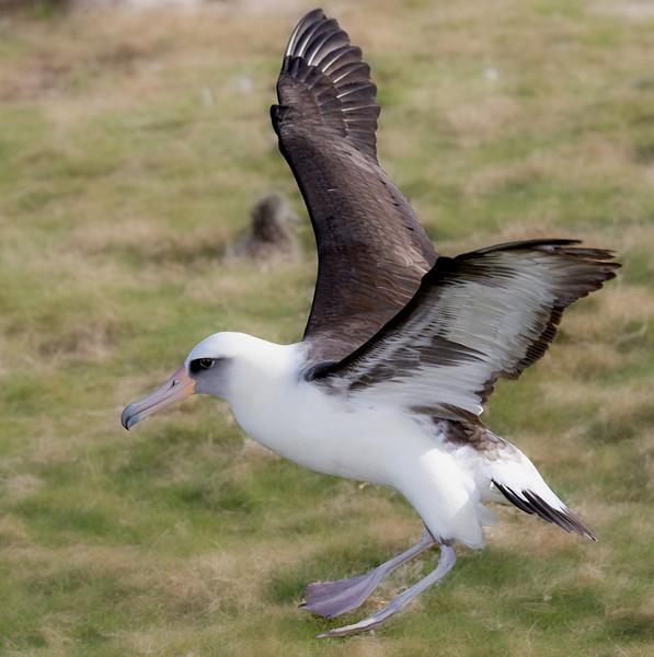 Albatross_Laysan Landing TAB10MK4-8271