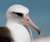 Albatross_Laysan HS TAB10MK4-8114
