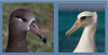 Albatross_Laysan and Black-footed composite