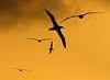 Albatross_Sunset TAB10MK4-8518