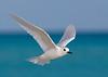 Tern_White flying TAB10MK4-7954