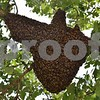 A swarm of honeybees gather on tree in the front yard of Gretchen Freise and Jackson Kettner's house in Genoa. Beekeeper Matt Anderson and his father Marlin Anderson remove swarms of bees from residences around DeKalb County.