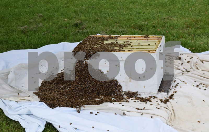 A swarm of honeybees gather after being gently knocked from a tree in the front yard of Gretchen Freise and Jackson Kettner's house in Genoa. Beekeeper Matt Anderson and his father Marlin Anderson remove swarms of bees from residences around DeKalb County.