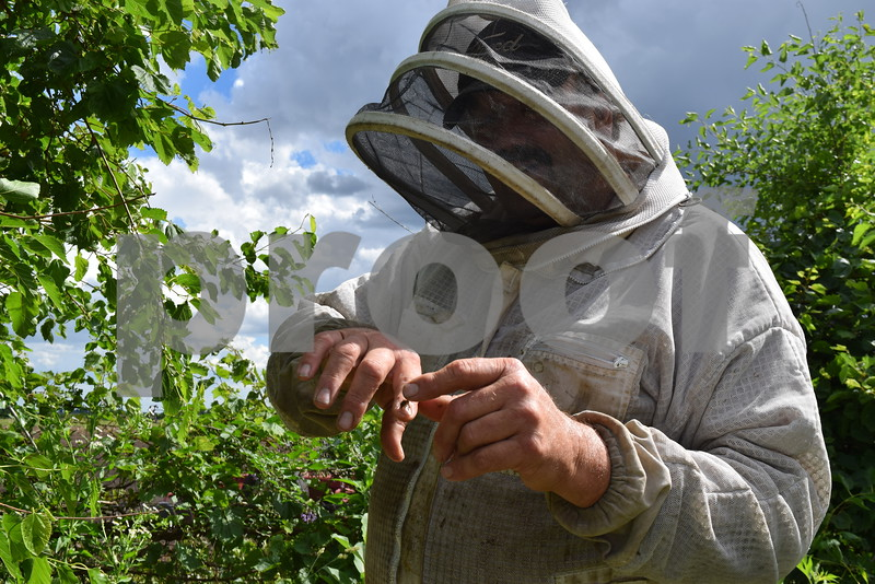 Beekeeper Tom Montavon of Charter Grove Honey Farm holds and pets a honeybee on his finger at Plank Road Orchard, where he has 12 honeybee hives. Montavon has more than 75 honeybee hives in nine locations around DeKalb County.
