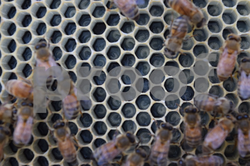 Honeybee larva grow inside of a brood cells in one of Tom Montavon of Charter Grove Honey Farm's 12 honeybee hives at Plank Road Orchard in Sycamore. Montavon has more than 75 honeybee hives around DeKalb County.