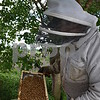 A bee licks the finger of beekeeper Tom Montavon of Charter Grove Honey Farm at Plank Road Orchard, where Montavon has 12 honeybee hives. Montavon has more than 75 honeybee hives in nine locations around DeKalb County.