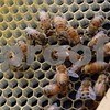 The queen bee, center, with the longer body, can lay up to 2,000 eggs each day. This queen leads one of Tom Montavon of Charter Grove Honey Farm's more than 75 honeybee hives.