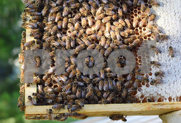 Bees gather together on one of Matt Anderson of Bear Paw Honey in Malta's honey super frame. Honey super frames fit inside the honey super for the bees to build wax and leave honey.