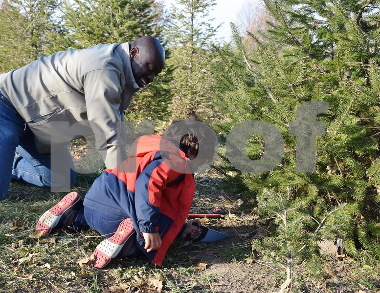Tom Numbere Jr. is assisted by his 4-year-old son Jonah as he cuts down a Christmas tree Sunday at the Camelot Christmas Tree Farm in DeKalb.