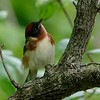 Bay-breasted warbler (male)
