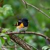 American redstart (warbler)