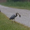 Great blue heron with a mammal snack
