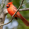 Northern cardinal male at Kensington Metro Park near Brighton, MI