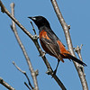Orchard oriole at Kensington Metro Park near Brighton, MI